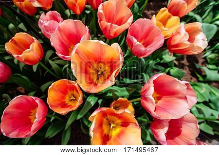 Flower field with colorful tulips. Tulipa Ace pink . Keukenhof Flower Park