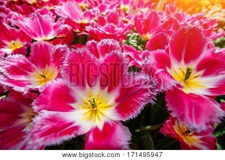 Beautiful pink blooming tulips curly. Keukenhof Flower Park.