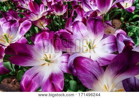 Marvellous tulip flowers in the Keukenhof park. Triumph Pittsburg. Beautiful outdoor scenery in Netherlands, Europe
