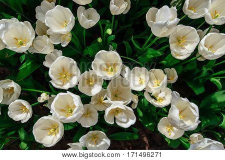 White tulips close up Triumph Weisse Berliner . Keukenhof Flower Park