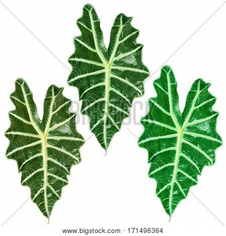 three tropical plants with large green leaves