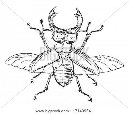 Stag beetle, vintage engraved illustration.