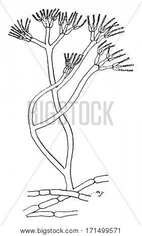 Penicillium glaucum, vintage engraved illustration.