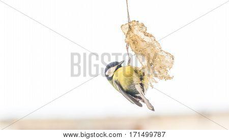 Tit bird on bird feeder. Close up of small bird sitting on fat in winter.