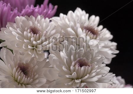 A close up image of white perennial mums in a bouquet.