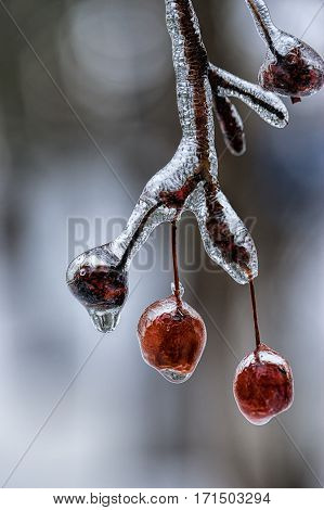 A close up of berries on a tree covered in ice.