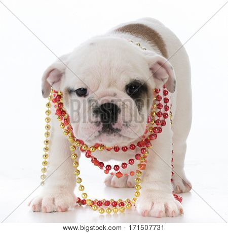 female bulldog puppy wearing beads on white background