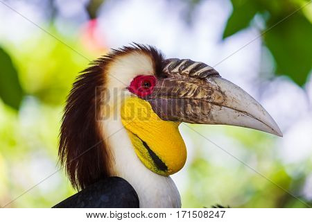 Wreathed Hornbill bird in Bali Island Indonesia - nature background
