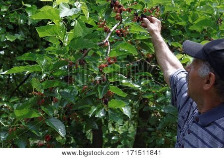 Senior man harvesting ripe mulberries out of a mulberry tree in his garden