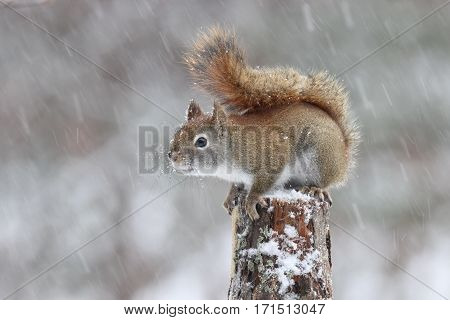 An American red squirrel sitting on a branch in a winter snowstorm