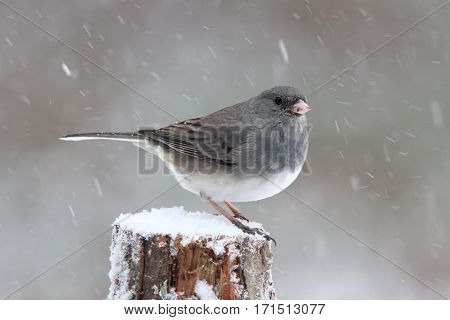 A male junco perching on a branch in winter