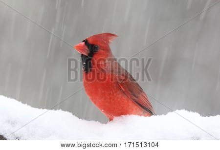 A bright red male northern cardinal perching in a winter snowstorm
