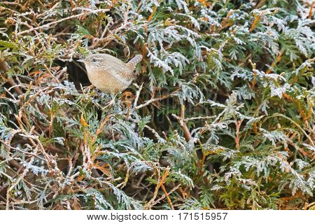 Eurasian wren bird, very small bird in rufous brown perching on frosted Thuja coniferous tree during winter in Austria, Europe (Troglodytes troglodytes)