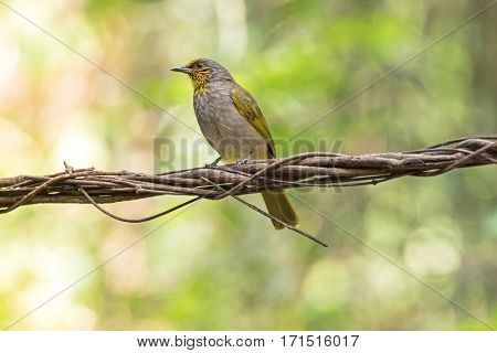 Stripe throated, Streak throated bulbul bird in yellow perching on tree branch with blurred forest background, Thailand (Pycnonotus finlaysoni)