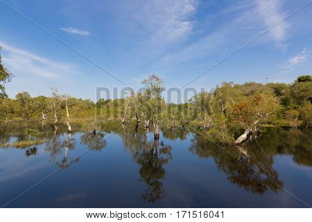 Cajuput, white Samet tree growing at Swamp flooded forest in water against blue sky in Rayong, Thailand (Melaleuca cajuputi)