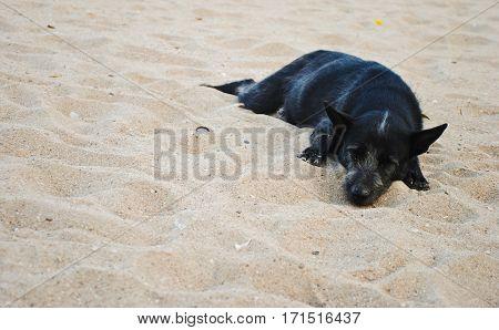 Black dog sleeping on sand beach in morning light