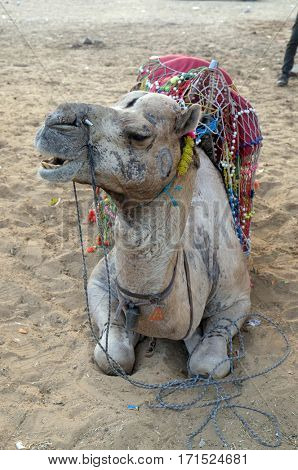 PUSHKAR, INDIA - FEBRUARY 17: Decorated camel in the Thar desert near Pushkar, Rajasthan, India, on February 17, 2016.
