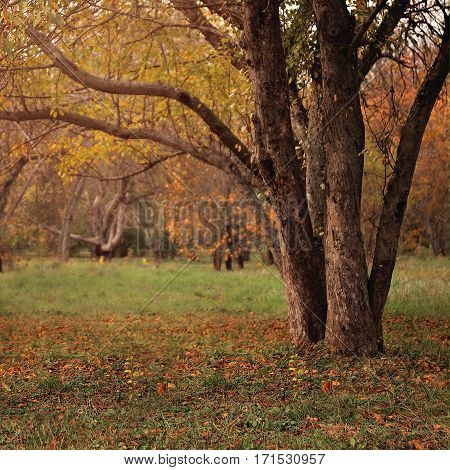 Big autumn oak and green grass on a meadow around