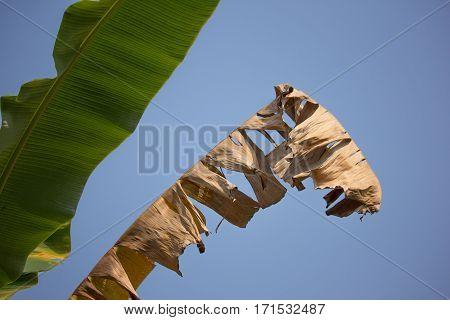 Dry Leaf Of Banana Tree, Pisang Awak