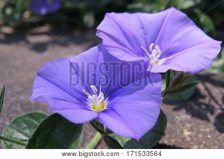 Convolvulus purple flower morning glory open in daylight sun