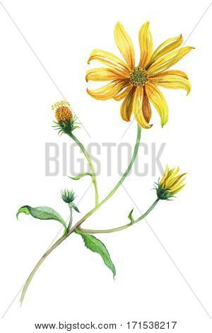 Watercolor yellow daisies branch with leaves. Hand drawn illustration. Isolated on white background. Painting. Realism.