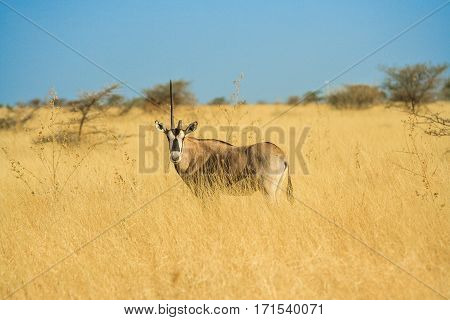 Antelope in a Africa Savannah standing and staring