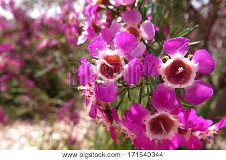 Pink Geraldton Wax Flowers in bloom on Australian native tree in garden