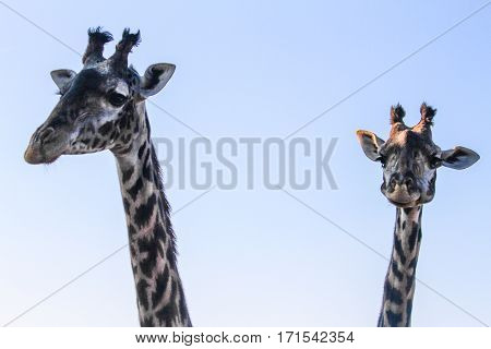 Two giraffes at sunset. Only heads of the giraffes are on the picture.