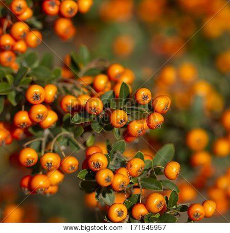 Orange rowanberry (sorbus aucuparia) branch. Shallow focus background.