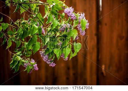 beautiful purple lilac in bloom after the rain against brown wooden fence