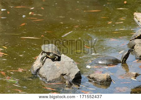 Three Turtles On The Stone In The Pond