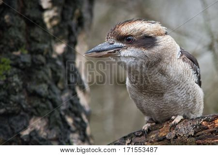 Close up of a perched kookaburra on a branch with beak slightly open looking to the left