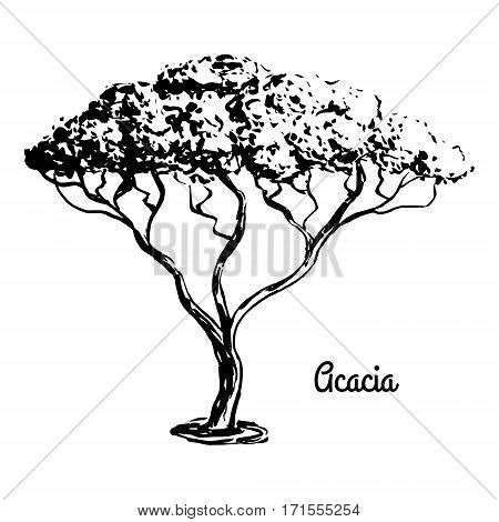 Vector sketch illustration. Black silhouette of Acacia isolated on white background. Drawing of tree. African flora.