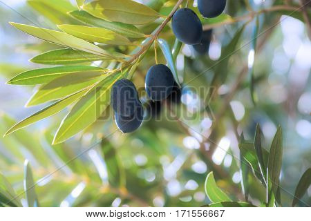 group of black ripe olives hanging from a tree in southern Spain in Andalusia with the sun shining in the back ground blurred for copy space