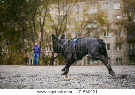 Walking The Dog French Bulldog. Male Host Plays With His Pet On The Street In The Yard With A Stick