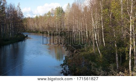 Birch grove along the river, finnish nature in Oulanka national park