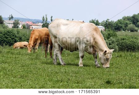 White and brown cows on the grassy pasture