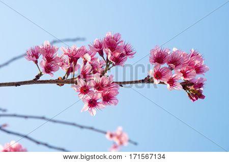 Beautiful pink sakura cherry blossom flowers with blue sky