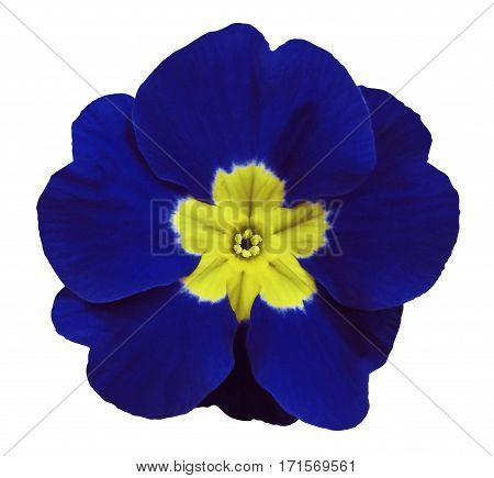 blue violets flower white isolated background with clipping path. Closeup. no shadows. For design. Nature.