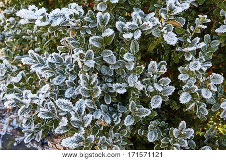 Frozen green leaves on winter bush. Frozen  shrubs.