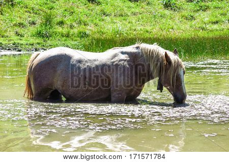 A White Horse Eats Algae In A Pond In The Catalan Pyrenees, Spain.