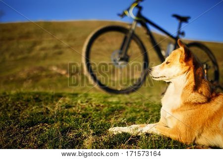 sitting dog and mountain bicycle with field and blue sky background. Green grass. Red-white dog. Animal. Beautiful landscape. Travel in the countryside. Spring season.