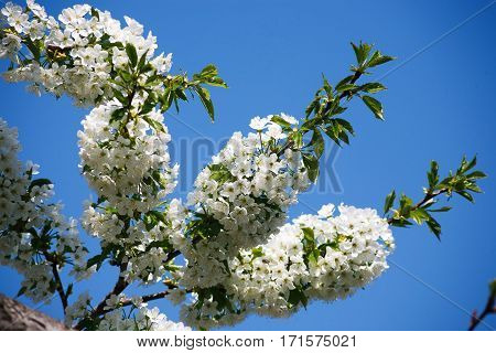 Cherry tree blossom, closeup of beautiful branch with small white flower buds. Spring nature landscape at blue sky background