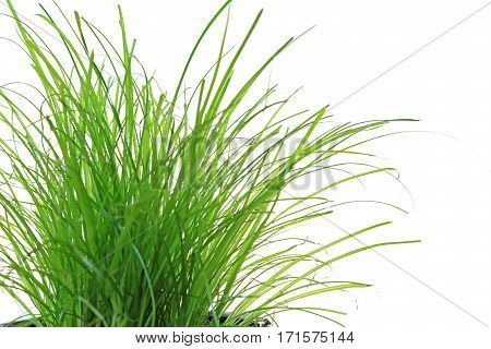 Fresh green grass isolated against white background