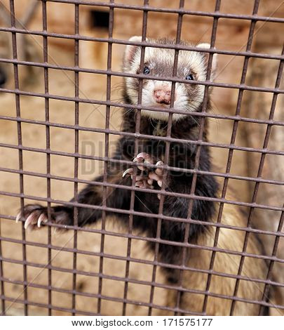 Black ferret with the white head in behind the cage bars