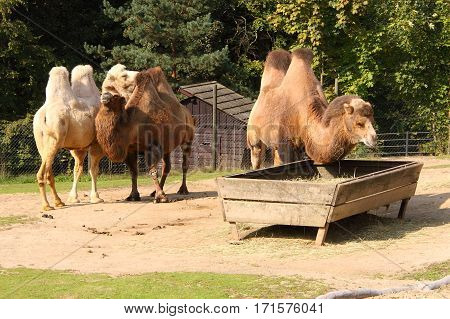 Three camels by the feeding haunt in garden