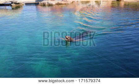 Sea lion is swimming in Valencia oceanarium