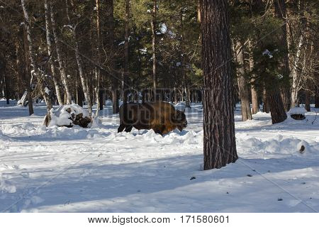 European Bison In The Winter Forest Of Fir On The Background Of Their Natural Habitat In The Caucasu