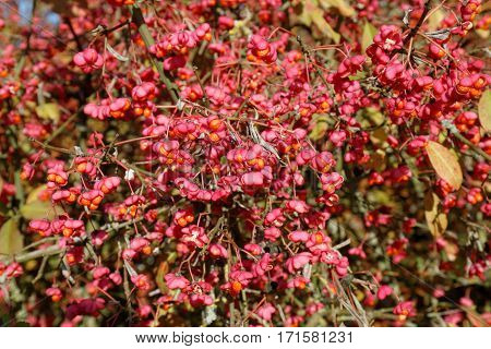 Opulent Branches of the European Spindle Tree ( Euonymus europaeus ) with ripe Seed Vessels
