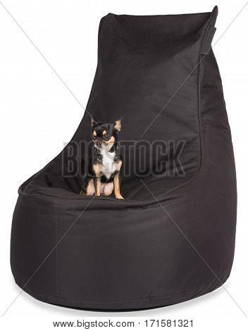 Cute dog chihuahua sit on the beanbag